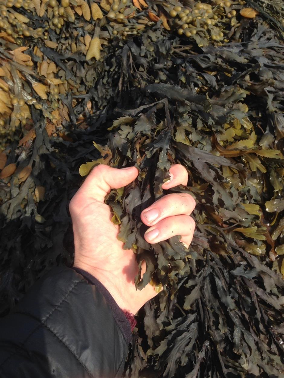 Wild Food Folk: Searching for Seaweed